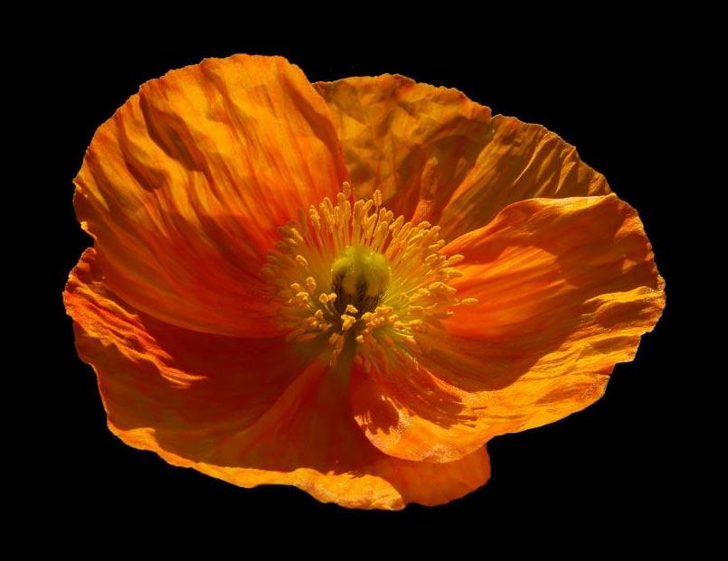 14_Web_Welsh-Poppy