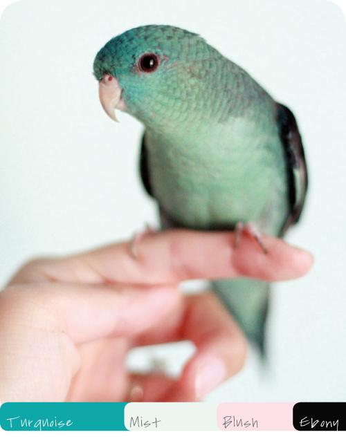 Turquoise Mist Blush Ebony