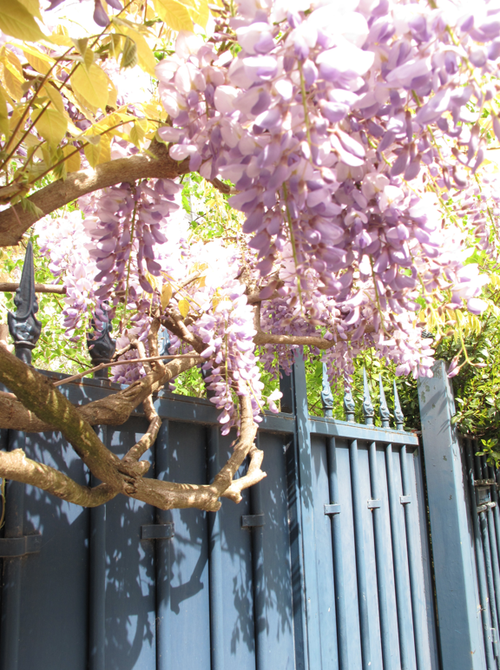 Parisian Fence and Wisteria Corine Gantz