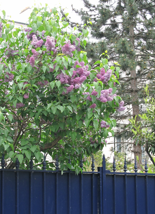 Gate and whisteria
