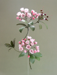 Mountainlaurel
